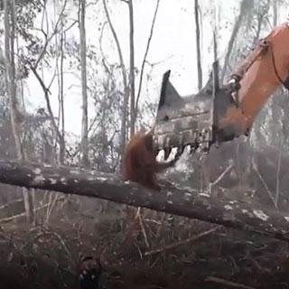 """[영상] """"우리 집 건들지마!""""…온몸으로 굴착기에 저항한 오랑우탄"""