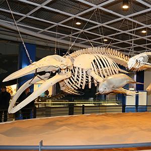 고래박물관에 전시된 혹등고래 뼈