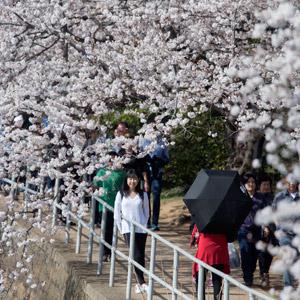 美워싱턴DC 벚꽃 축제
