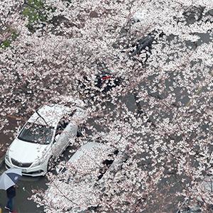 연분홍 빛세상…부산 벚꽃