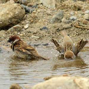 덥다 더워…참새의 목욕