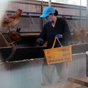 달걀 이어 닭에서도 DDT 검출
