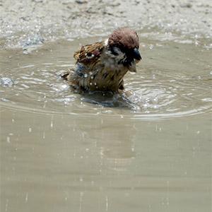 참새 목욕