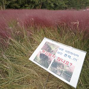 인생사진 욕심에 훼손된 핑크뮬리밭
