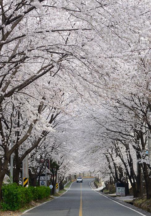 '벚꽃의 자태' 하동 화개장터 벚꽃축제 내달 개막