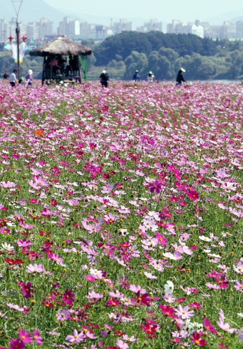 가을꽃 향기에 취해볼까…경기도 꽃 나들이 명소