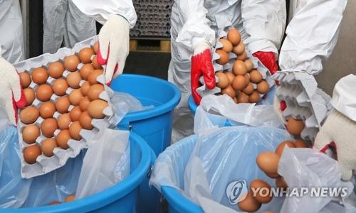 8月21日,济州一家蛋鸡养殖场在销毁检出杀虫剂成分的鸡蛋。(韩联社)