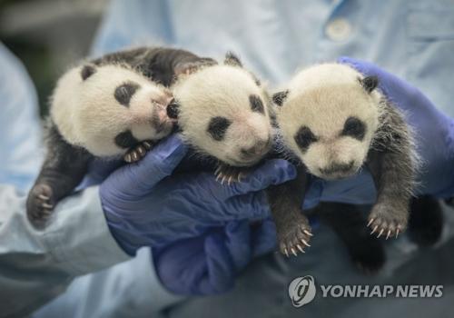 """2014年7月29日,来自四川卧龙的大熊猫妈妈""""菊笑""""在广州长隆野生动物世界诞下三只熊猫幼仔,这是全球首例全部存活的三胞胎大熊猫幼仔。(韩联社/新华社)"""