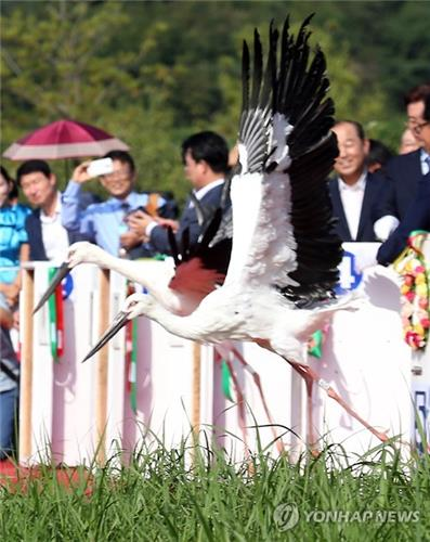 This file photo, dated Sept. 3, 2015, shows Oriental white storks being released into the wild from a stork park in the town of Yesan, 134 kilometers south of Seoul. (Yonhap)