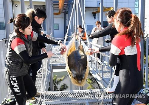 Aquarium staff assist in the transport of one of two dolphins purchased by the Whale Life Experience Museum located in the southern port city of Ulsan in this photo taken on Feb. 9, 2017. (Yonhap)