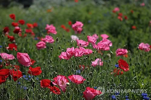 Poppy flowers (Yonhap file photo)