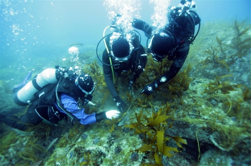 Divers transplant seaweed on rocks in this photo provided by FIRA on July 18, 2017. (Yonhap)