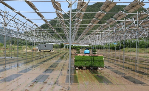 A farmer can grow rice on a 6,600-square meter rice paddy where solar panels are installed. This photo is provided by the Korea South-East Power. (Yonhap)