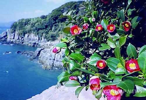 Camellias at Odong Island in Yeosu (Yonhap)