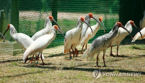 This undated photo shows crested ibises in their enclosure at the Upo Korean Crested Ibis Restoration Center in Changnyeong, 347 kilometers southeast of Seoul. (Yonhap)
