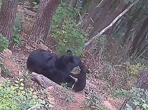 This photo, provided by the Korea National Park Service on June 10, 2018, shows an Asiatic black bear and her cub. The baby was born via artificial insemination in February. (Yonhap)