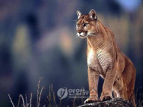 This file photo shows a puma. (Yonhap)