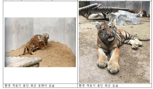 This photo, released by Seoul Grand Park on Oct. 12, 2018, shows two of four of Siberian tiger cubs, born in May 2018 at the park's zoo. (Yonhap)