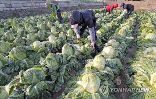 Des choux blancs, servant à préparer le kimchi, sont récoltés près de la ville de Chuncheon, dans la province du Gangwon, le 28 novembre 2017.
