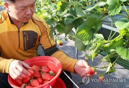 Un agriculteur cueille des fraises dans une serre à Yeongdong, dans la province du Chungcheong du Nord, le 5 février 2018, sur cette photo fournie par le comté.