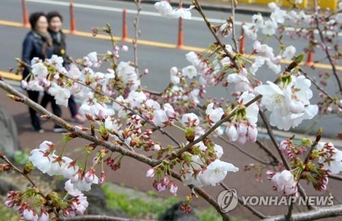 済州地域で開花した桜=(聯合ニュース)