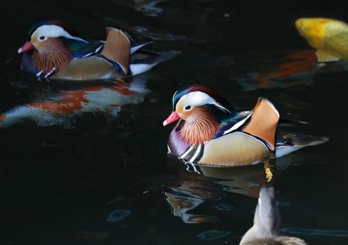 園内の池にはオシドリが泳ぐ=(聯合ニュース)