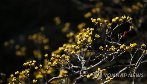 全羅南道・求礼では17〜25日、「サンシュユ花祭り」が開催される(求礼郡提供)=(聯合ニュース)