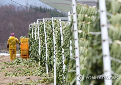 DMZ 펀치볼 명물 농산물 '시래기'