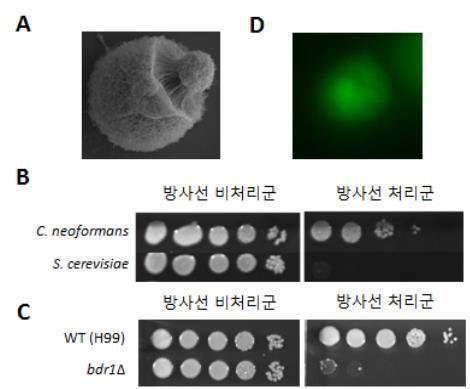 특정 미생물이 방사선 쪼여도 죽지 않는 이유 밝혀