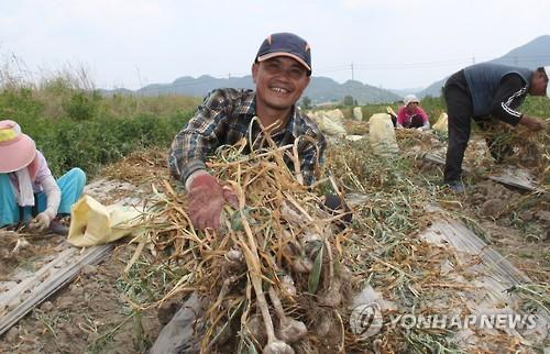 보은서 마늘 수확 돕는 계절 근로자