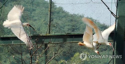 창녕 우포따오기 복원센터의 따오기들[연합뉴스 자료사진]