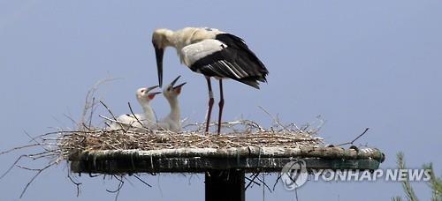45년만에 자연부화한 황새 새끼들[연합뉴스 자료사진]