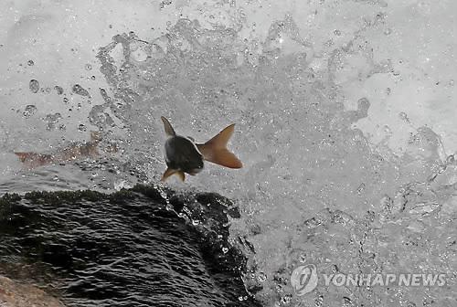 열목어[연합뉴스 자료사진]