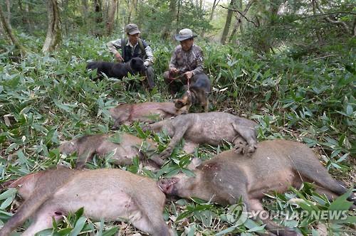 포획된 멧돼지 [연합뉴스 자료사진]