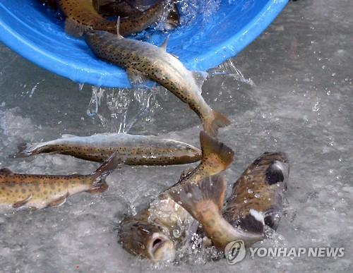산천어축제를 얼음구멍에 방류하는 모습[연합뉴스 자료사진]