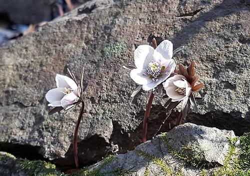내장산국립공원 변산바람꽃