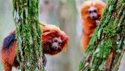 브라질 리우 지역에 서식하는 세계적인 희귀동물 '황금머리사자 타마린'