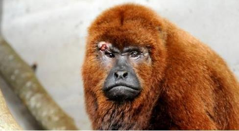 얼굴과 팔을 다쳐 동물원에서 치료를 받는 '짖는 원숭이'