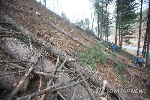 재선충 발병 소나무 제거작업 [연합뉴스 자료사진]