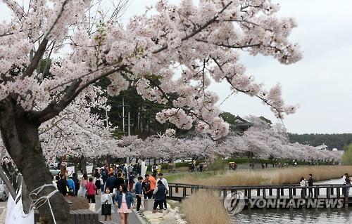 경포 벚꽃 축제[연합뉴스 자료사진]
