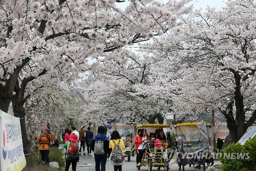 경포 벚꽃 터널[연합뉴스 자료사진]