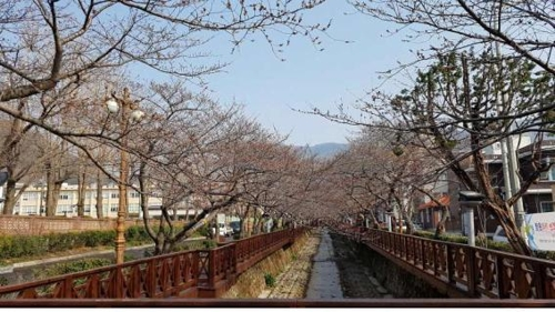 창원 여좌천 벚나무 군락 [부산기상청 제공=연합뉴스]