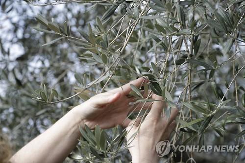 이탈리아의 올리브 나무 [AP=연합뉴스]