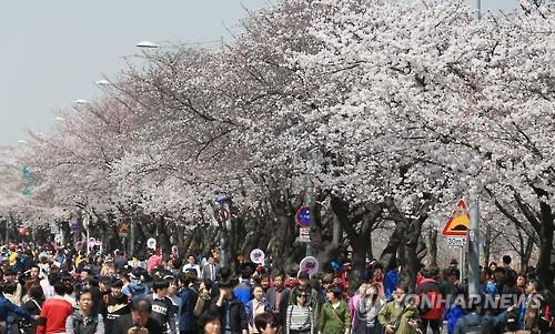 지난해 여의도 봄꽃축제 [연합뉴스 자료사진]