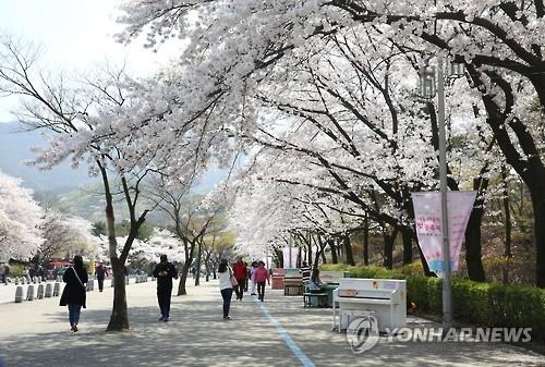 '벚꽃엔딩'은 서울대공원에서…4월8∼12일 벚꽃축제