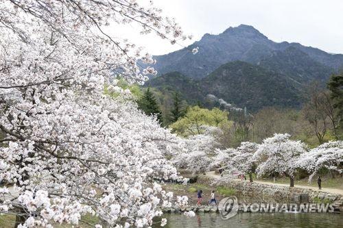 금오산·금오천서 벚꽃 축제…15만명 찾을 듯