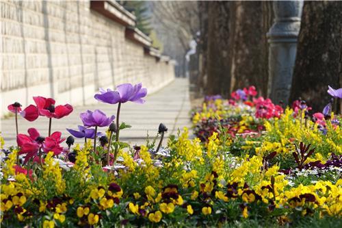 사랑채 건너 경복궁 담 아래 봄꽃 화단/ 백승렬