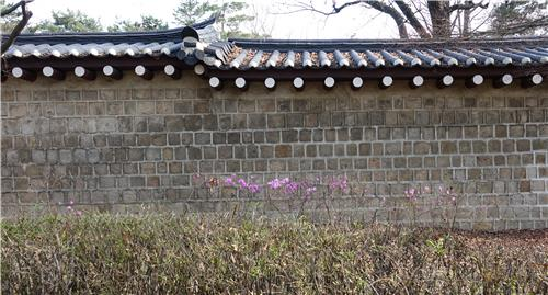 경복궁 담 진달래/ 백승렬