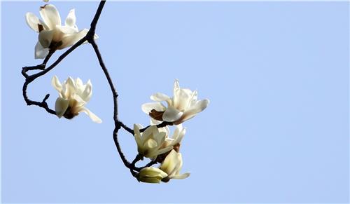 경복궁 담 만개한 목련/ 백승렬
