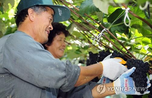 남원 고랭지포도 수확 [연합뉴스 자료사진]
